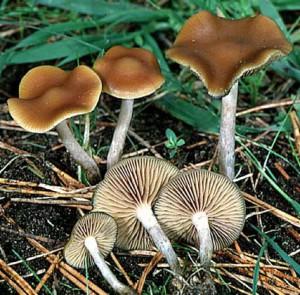 Psilocybe_cyanescens(fs-02)