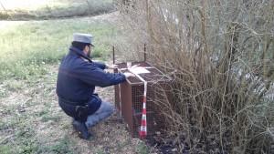 Sequestro trappole Coldelanoce Sassoferrato